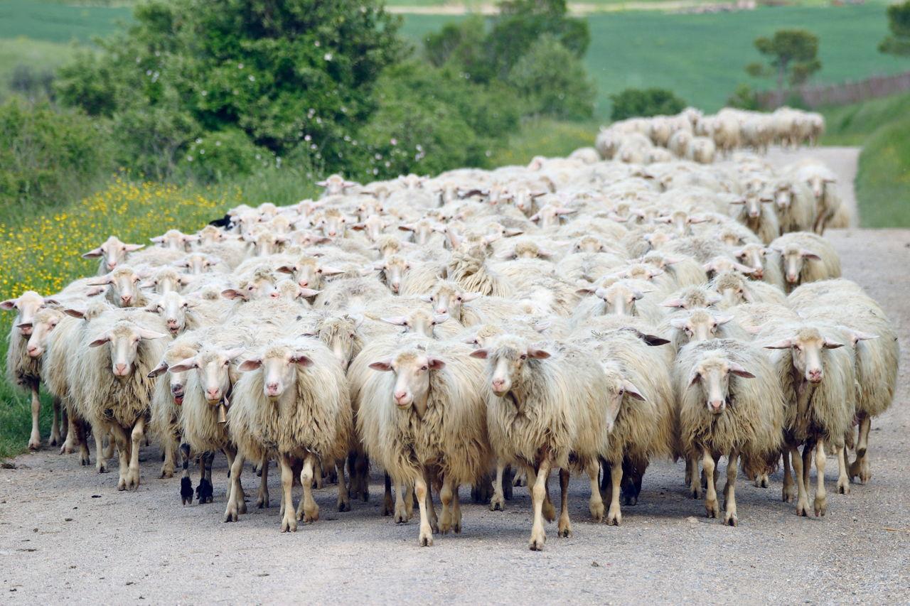 herd of sheeps trade brains